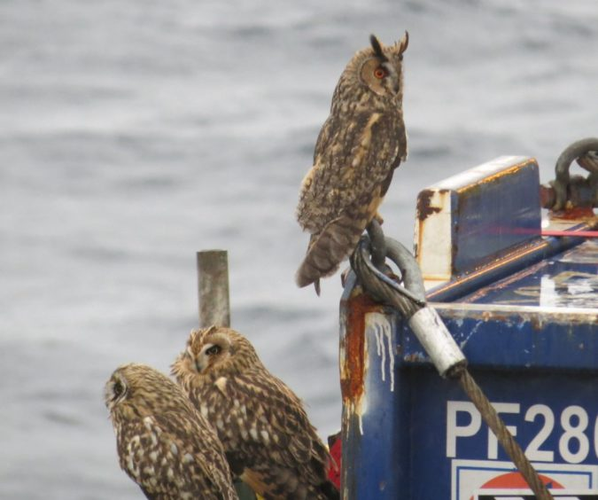 A group of long-ear and short-eared owls spotted in 2015