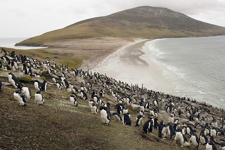 A colony of Rock Hopper penguins covers a hillside on Saunders Island, Falkland Islands. Photographer: Peter Macdiarmid/Getty Images Europe