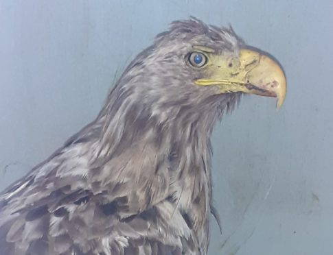 Sea eagle was saved by the Scottish SPCA on Isle of Lewis.