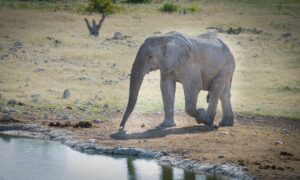 An elephant walks towards a watering hole