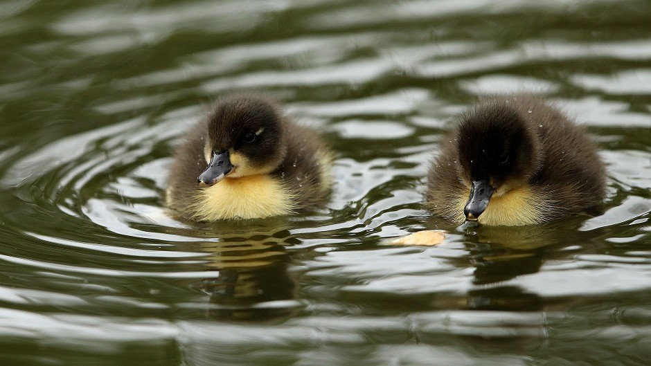 Ducklings could become separated from their parents if they are disturbed.