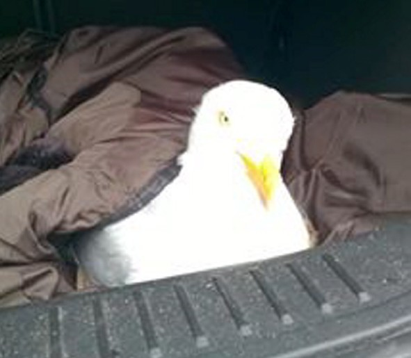 The injured seagull was taken to the vet but didnt survive