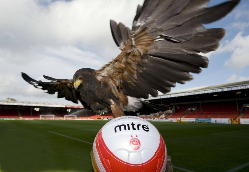 Hawks are brought in to Pittodrie to scare away any seagulls that are now starting to take food off supporters.