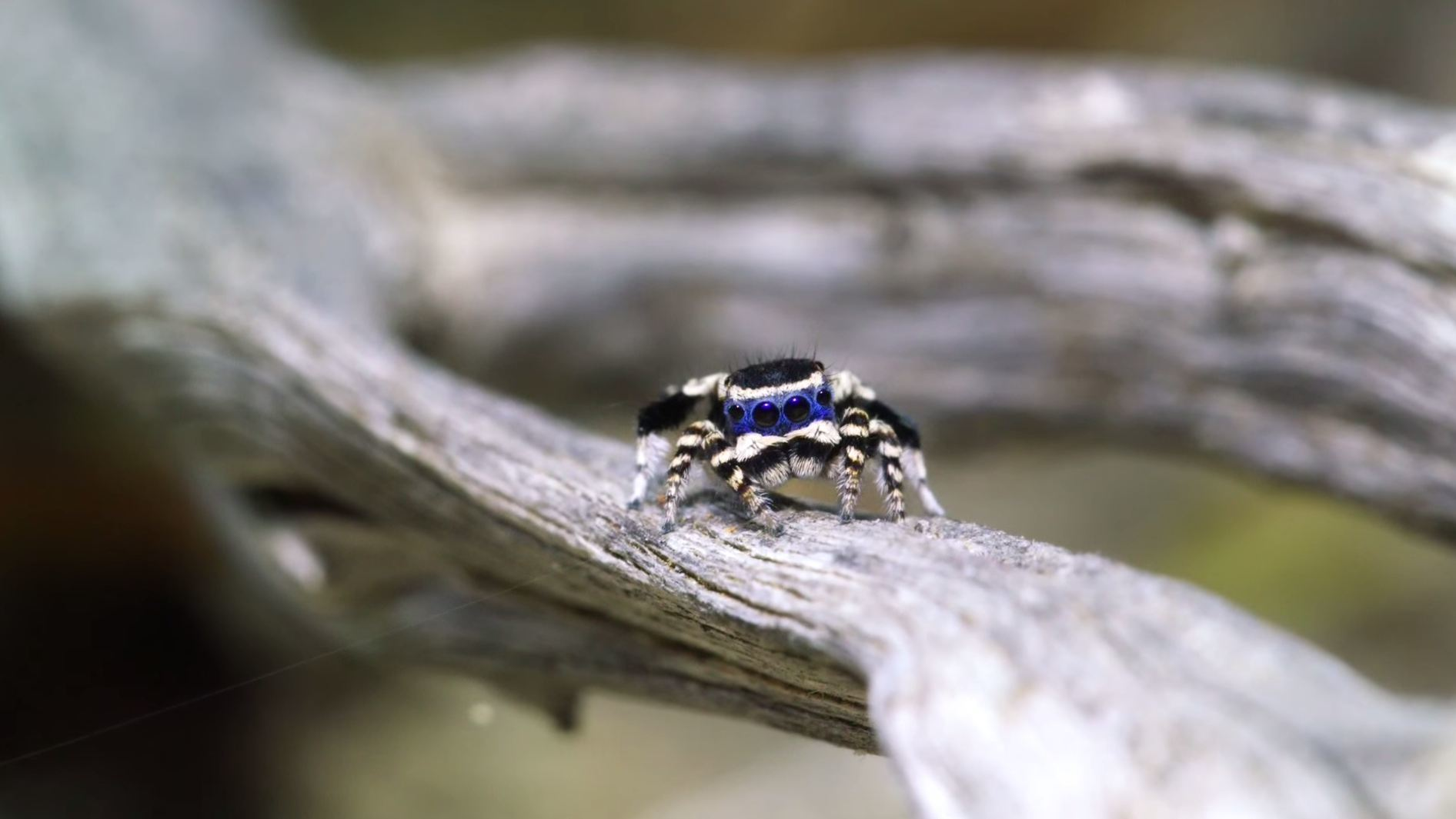 The masked peacock spider.