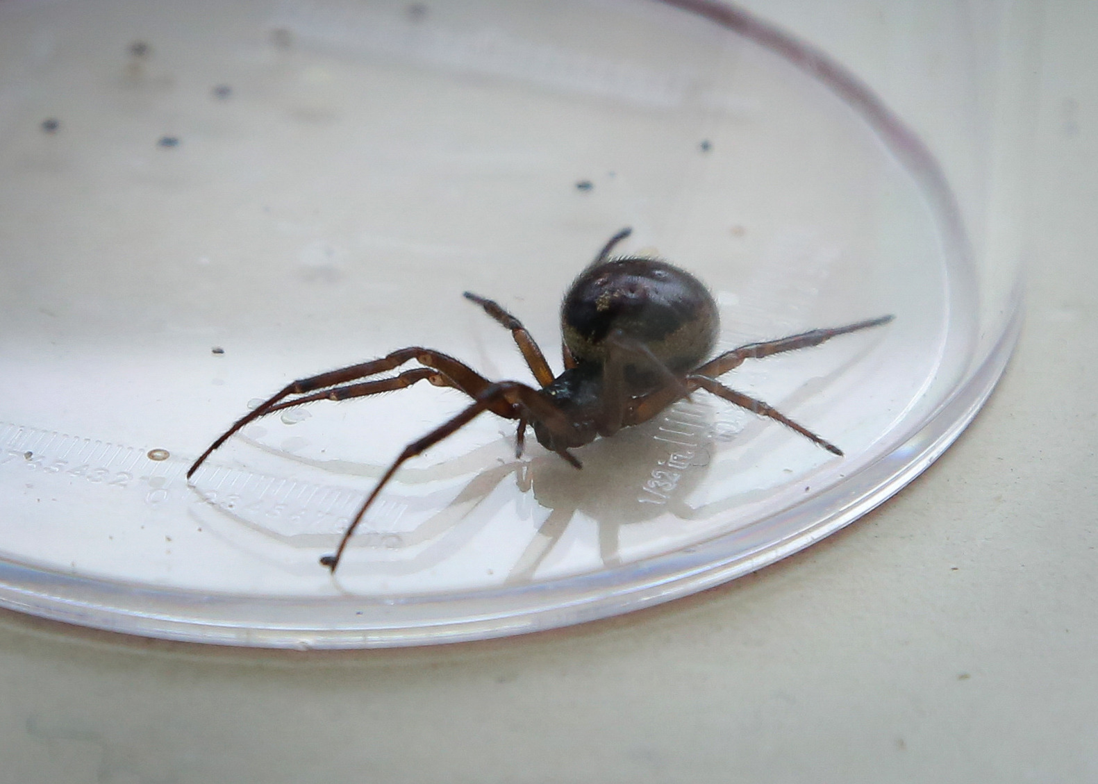 A general view of a False Widow Spider