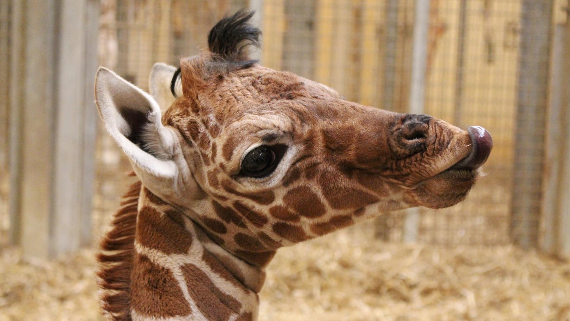 Baby giraffe sticks its tongue out