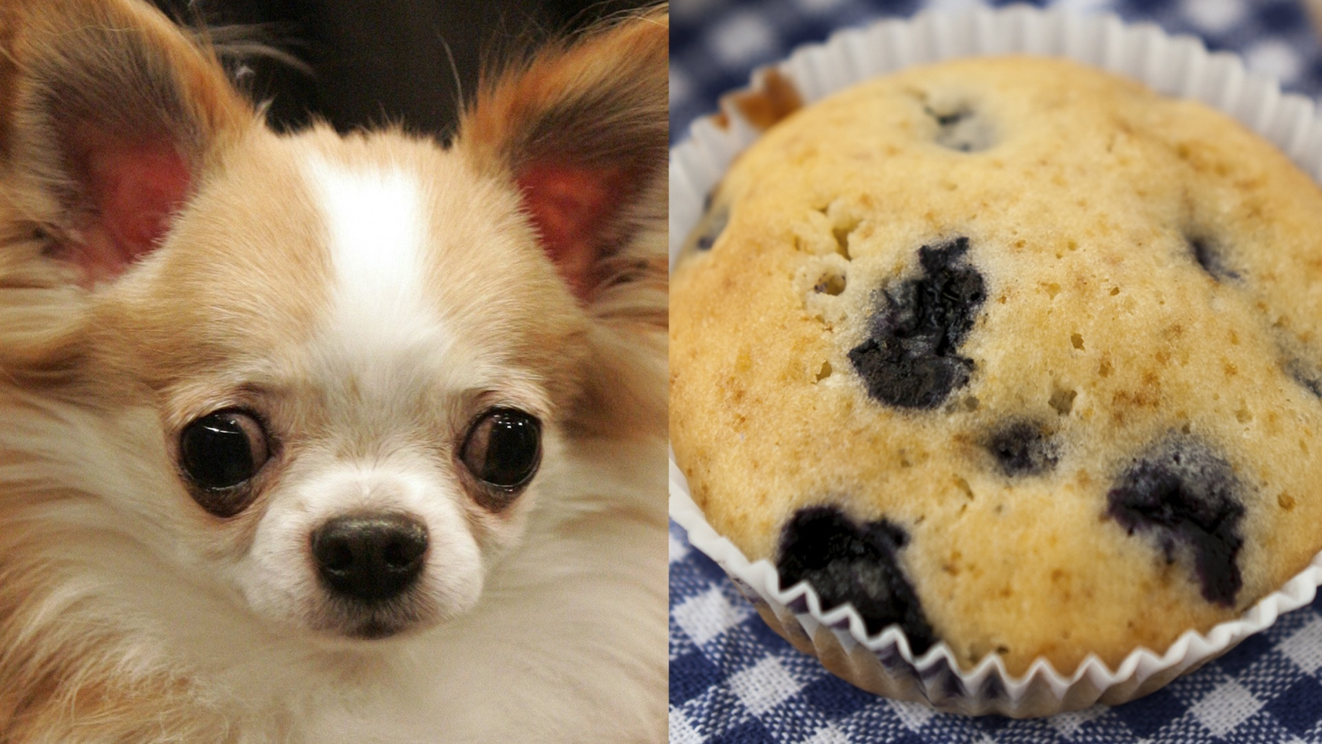 Chihuahua and muffin.