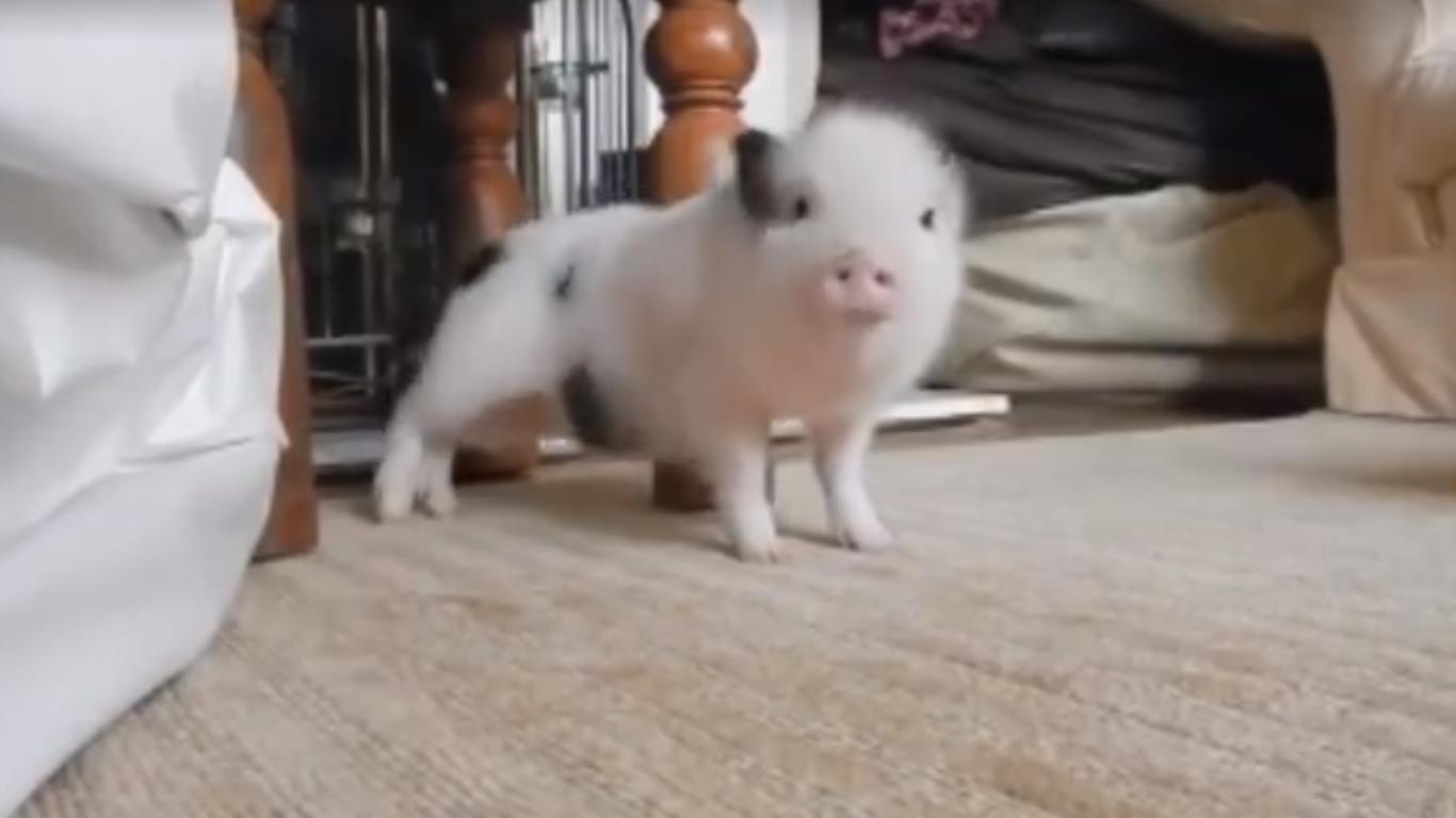 Dancing piglet