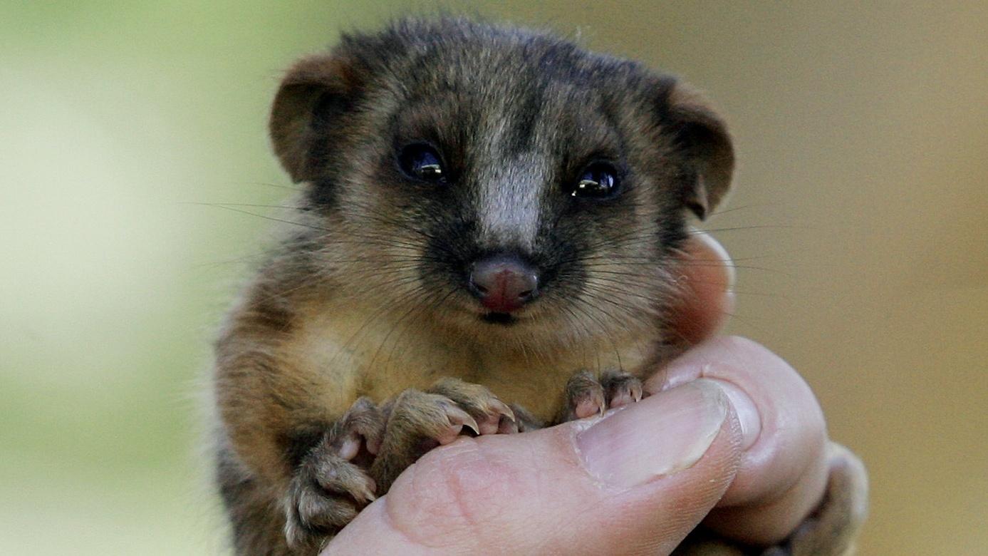 A baby possum