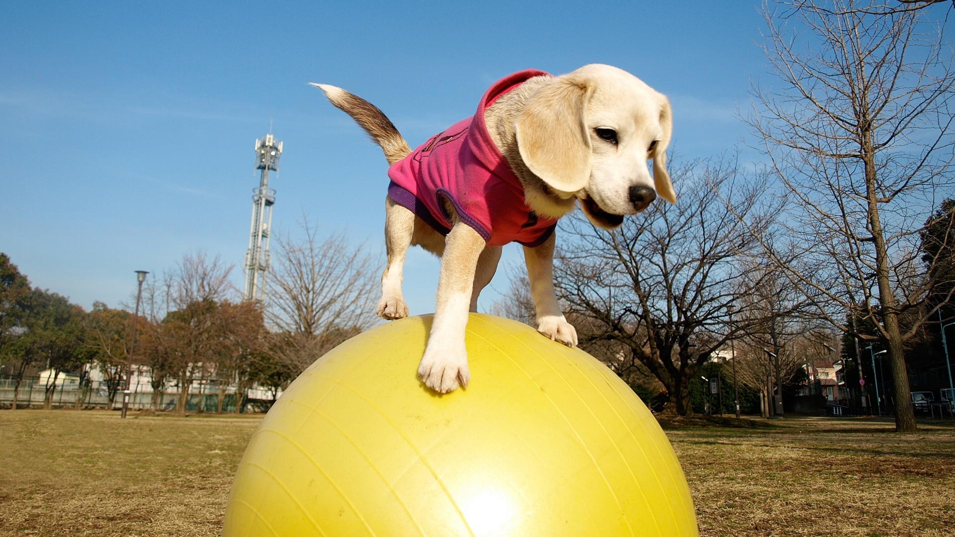 Dog balancing on a ball
