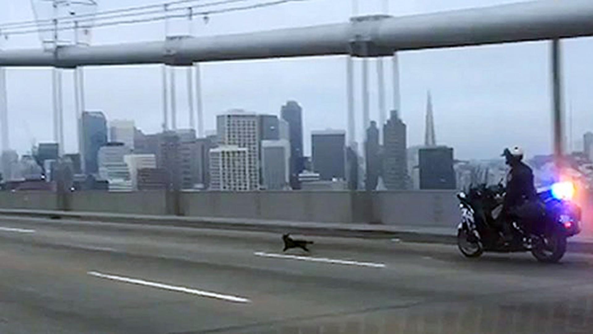 Officer G. Pumphrey pursues a male Chihuahua running loose on the San Francisco-Oakland Bay Bridge