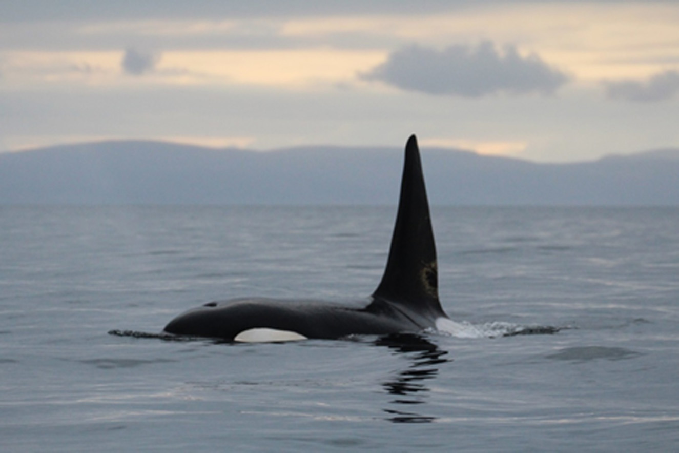Orca 993 is amongst the group of Icelandic killer whales photographed in the Moray Firth. Photo by Pippa Low, North 58° Sea Adventures.