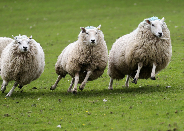 Sheep were found wandering on the B9170