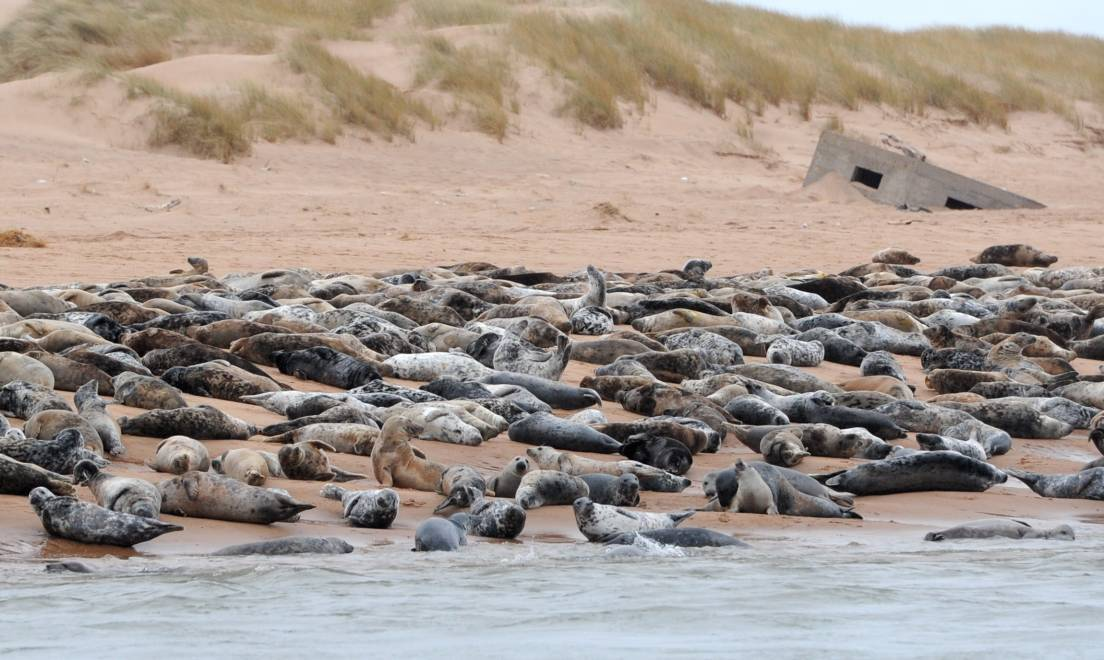 Seals on Newburgh Beach. Picture by Kath Flannery.