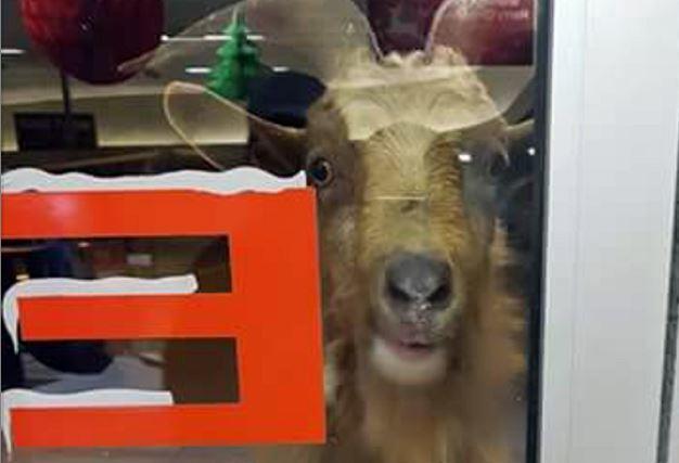 The escaped goat stares menacingly into a shop