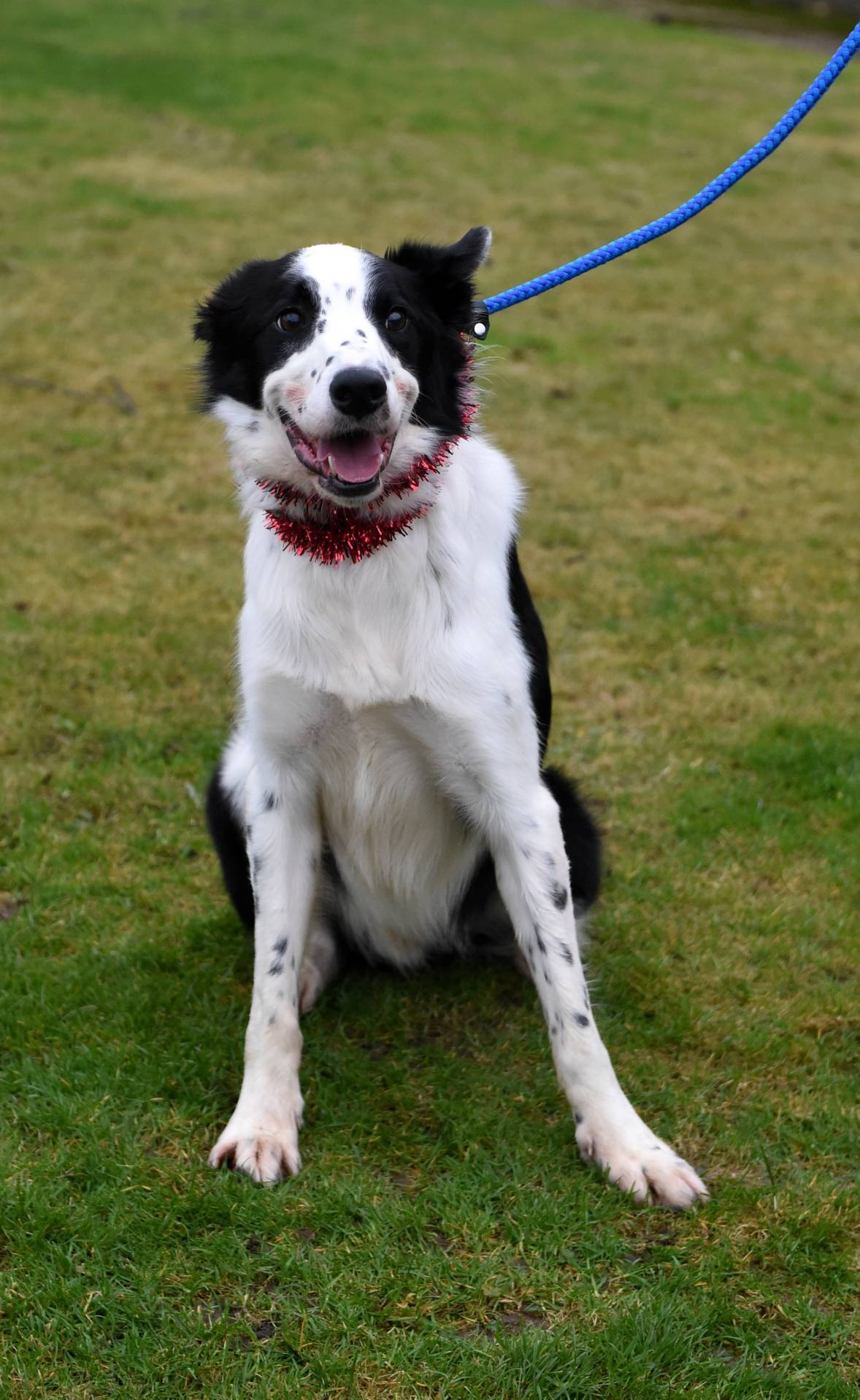 Playful Brock is another collie looking for a forever home. The two-year-old is good with dogs but doesn't get on with other animals. Brock is looking for a rural home where he has plenty of room to run around. However, this sweet-natured pooch loves a cuddle as well.