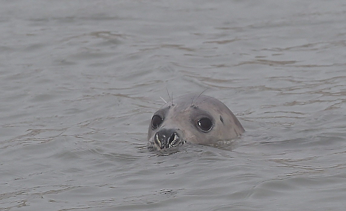 Seals can be injured during the stampedes.