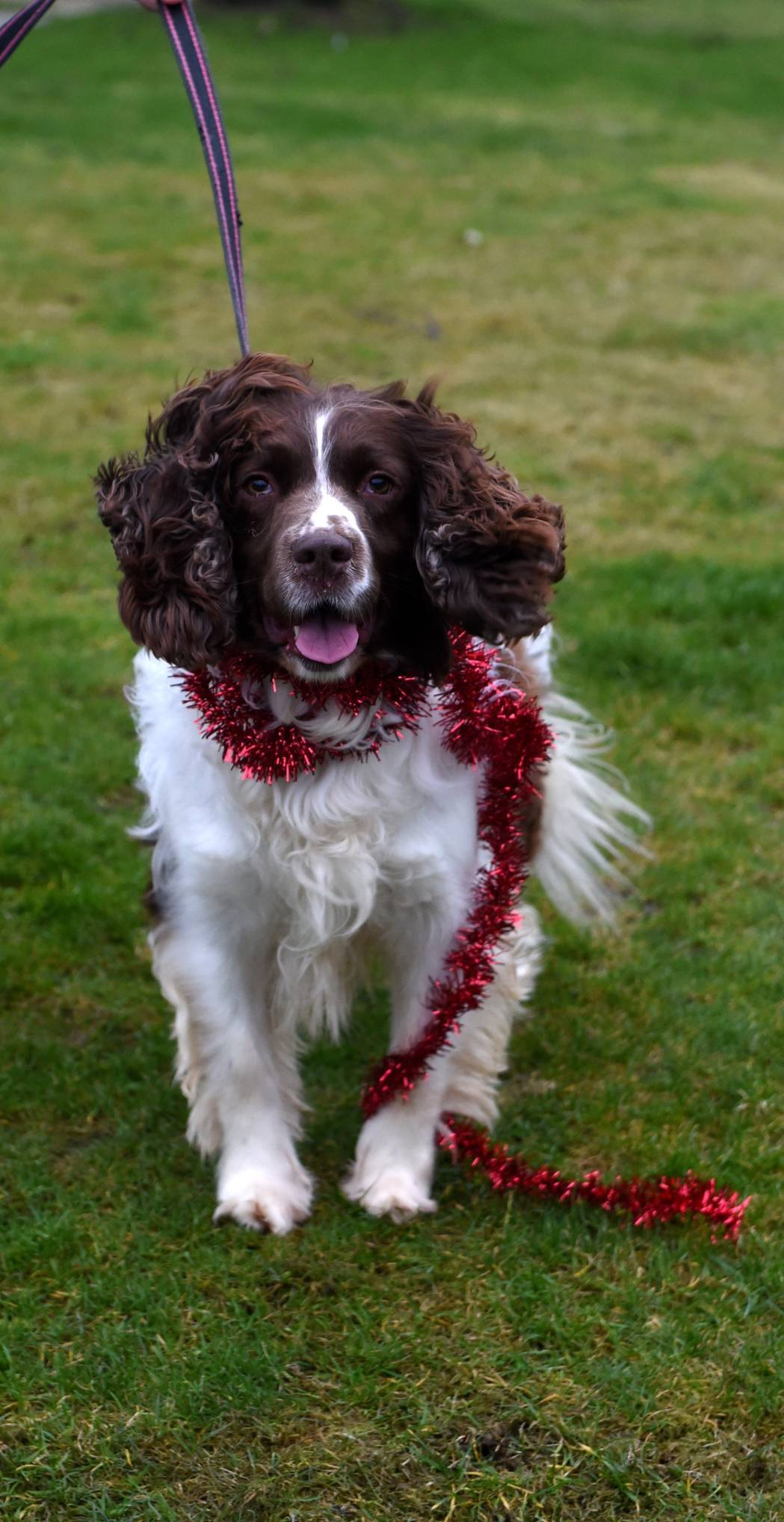 This springer spaniel, aged seven-and-a-half, is looking for an experienced owner to care for him. Jack is a friendly dog who will need a home with no other pets or children.