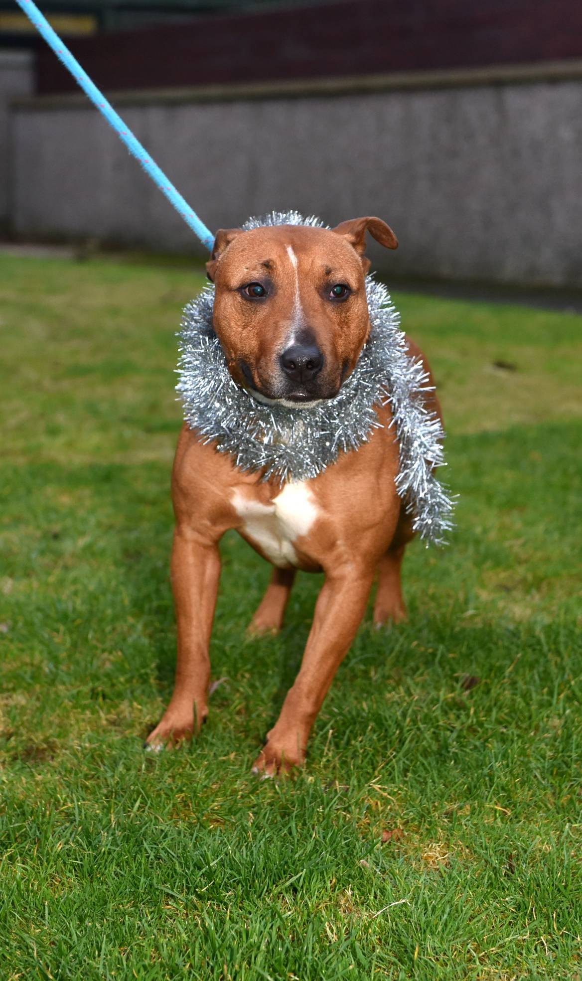 Two-year-old Kia loves her walks so will be looking for an owner with the time to give her the exercise she needs. Although she is a bit shy at first, she is very sweet once she knows you but wouldn't be suitable for a home with other pets or children.