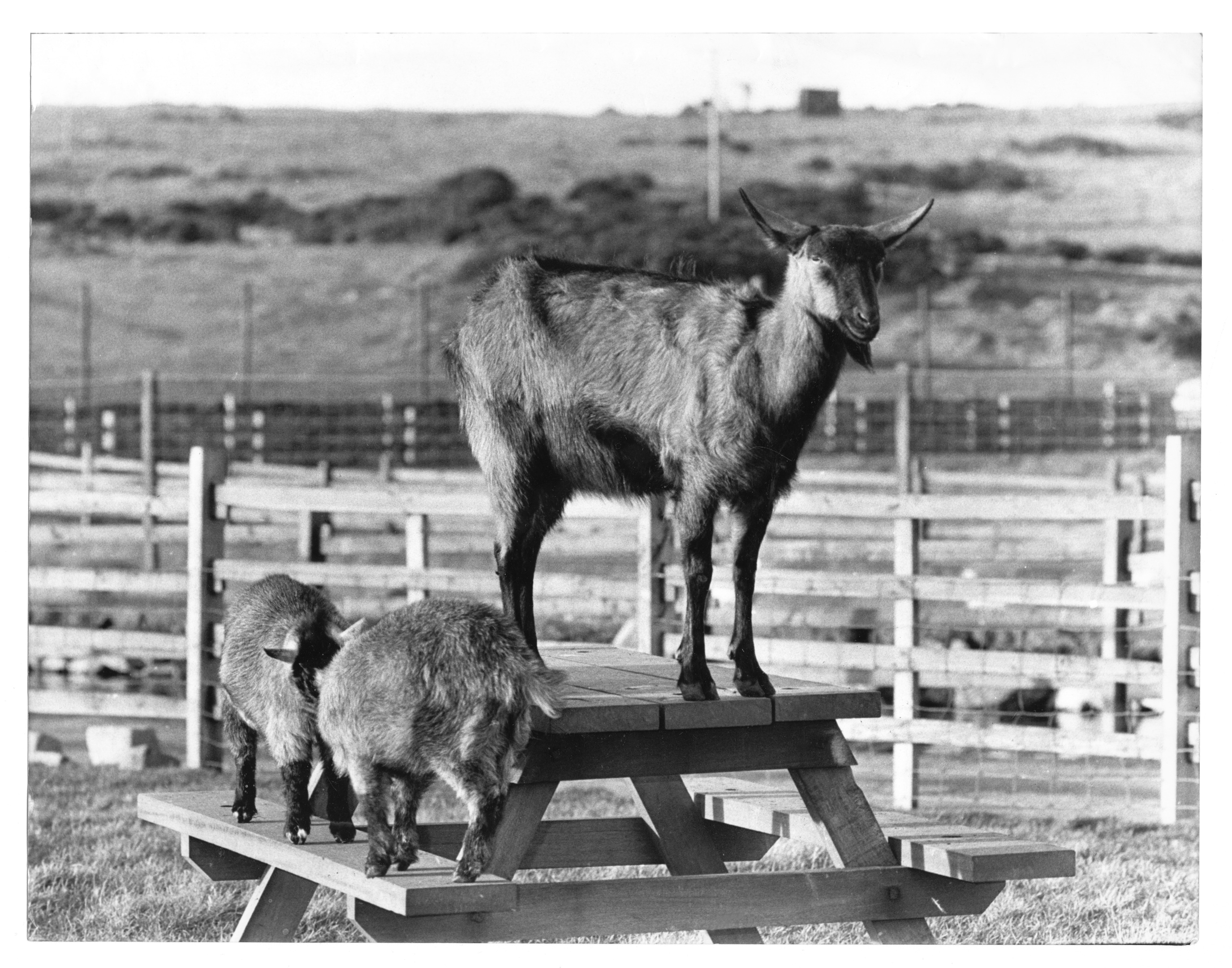 A Cameroonian pigmy goat shows whose in charge by climbing on to a picnic table.