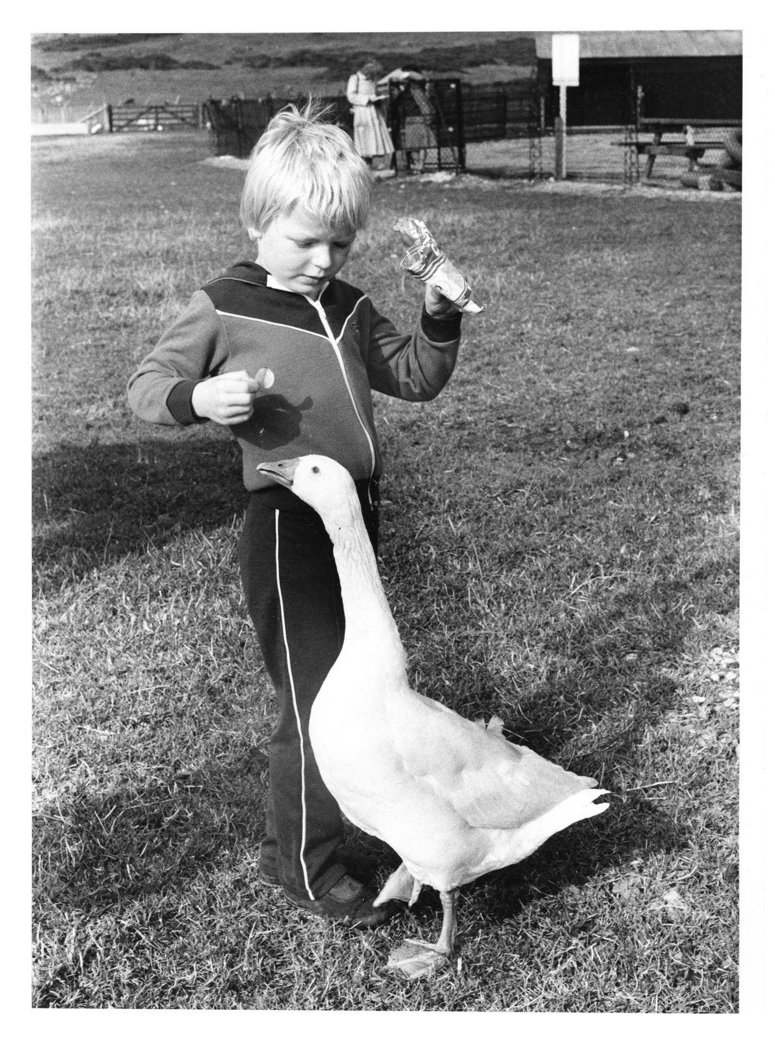 Cove Primary pupil, Steven Keith feeds one of the geese at Doonies Farm.