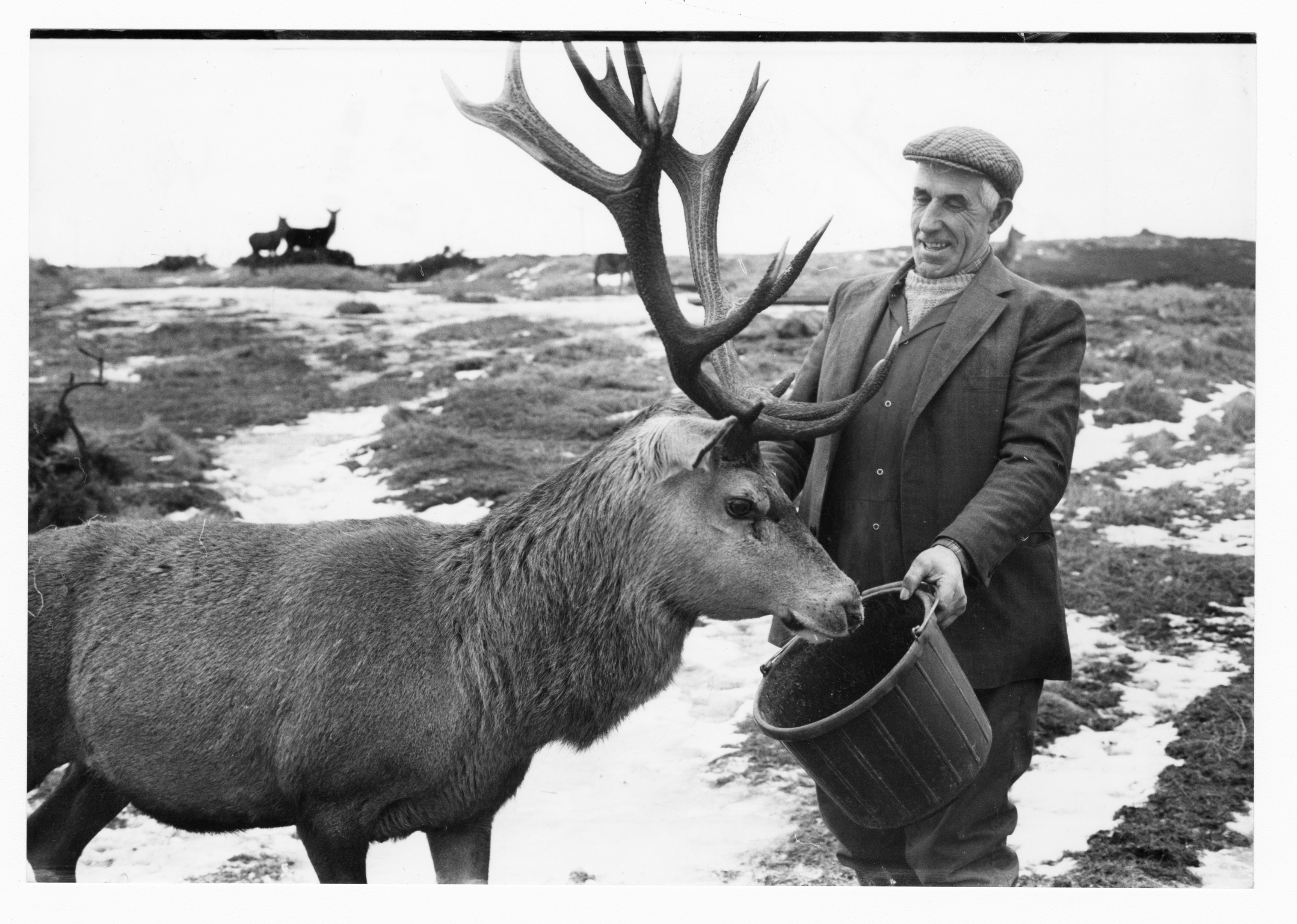 Brutus the red deer stag is eager for food from farm foreman Bill Aitken.