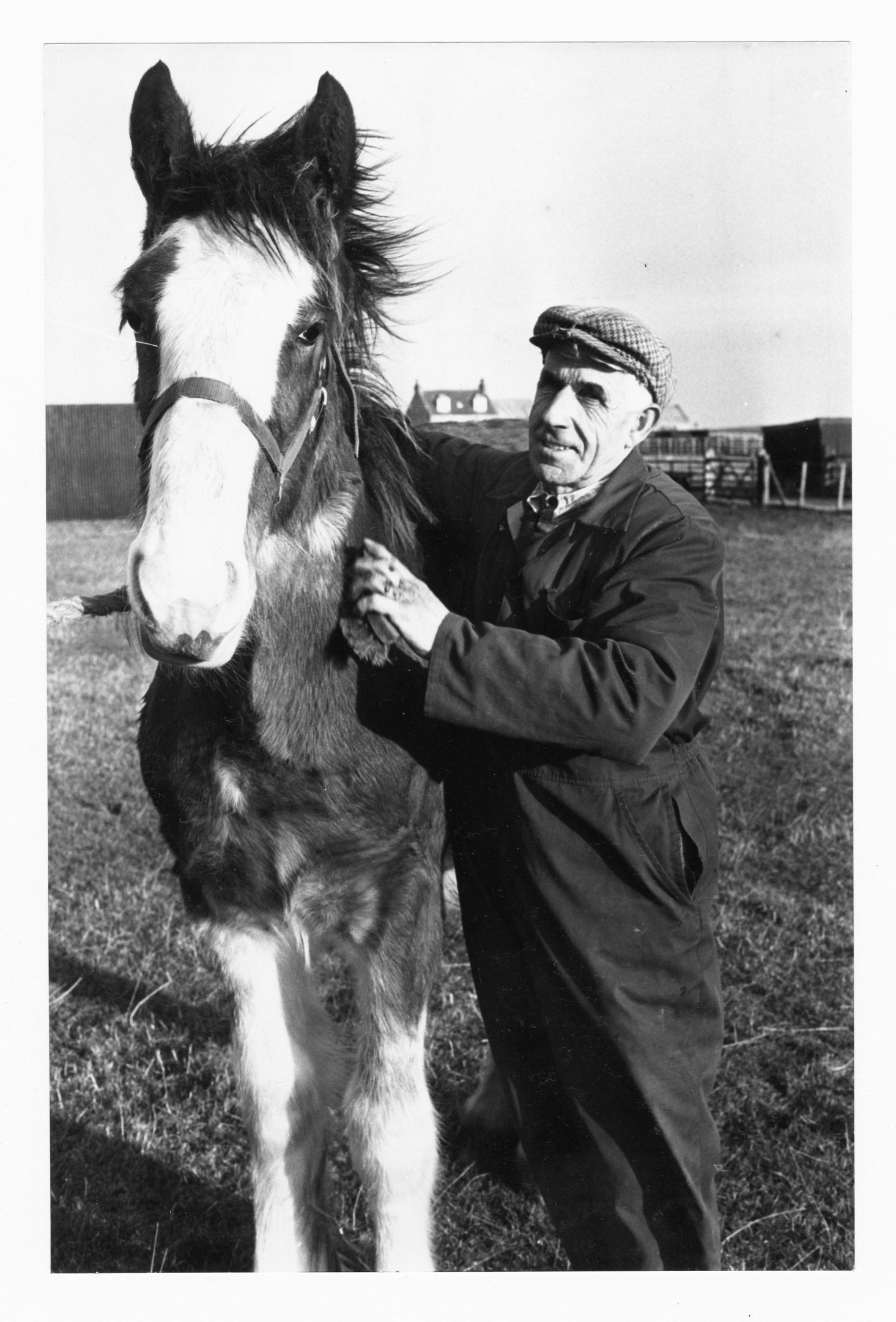 Foreman Bill Aitken busy grooming seven-month-old Clydesdale, Star.