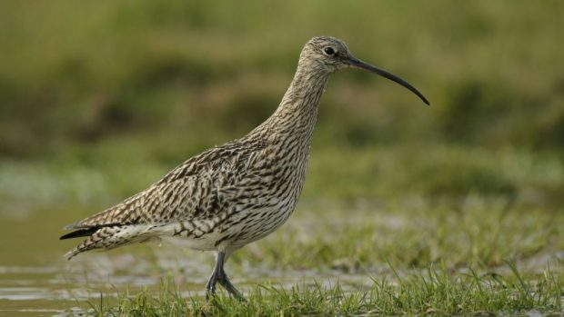 Curlews are among the species spotted at Gowmoss