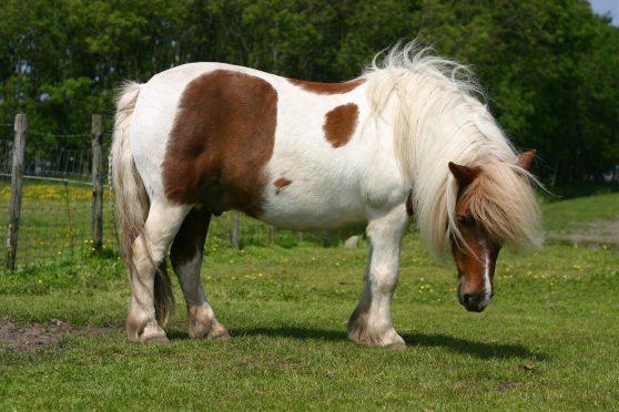 A generic Shetland pony