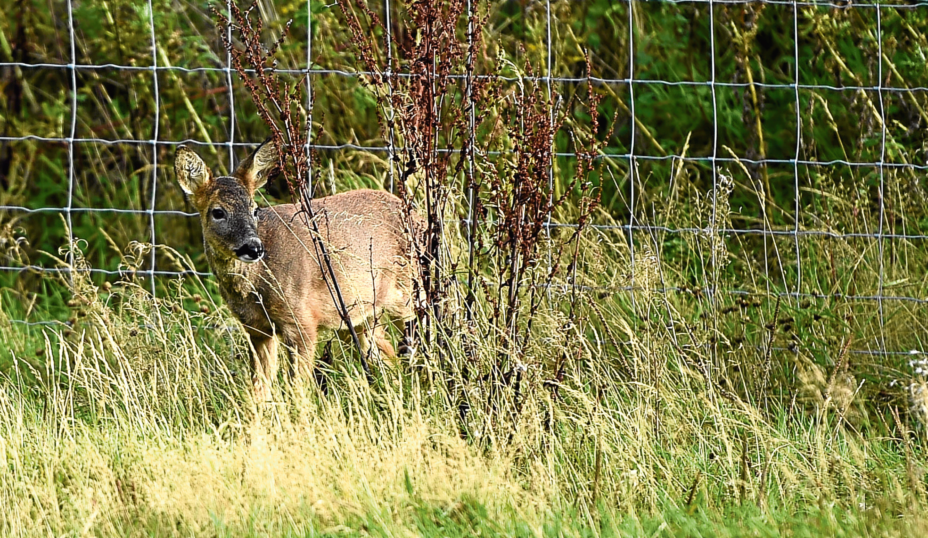 A blind and deaf deer taken in by The New Arc, Ellon