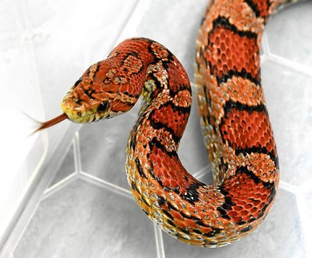 Snowflake the snake
