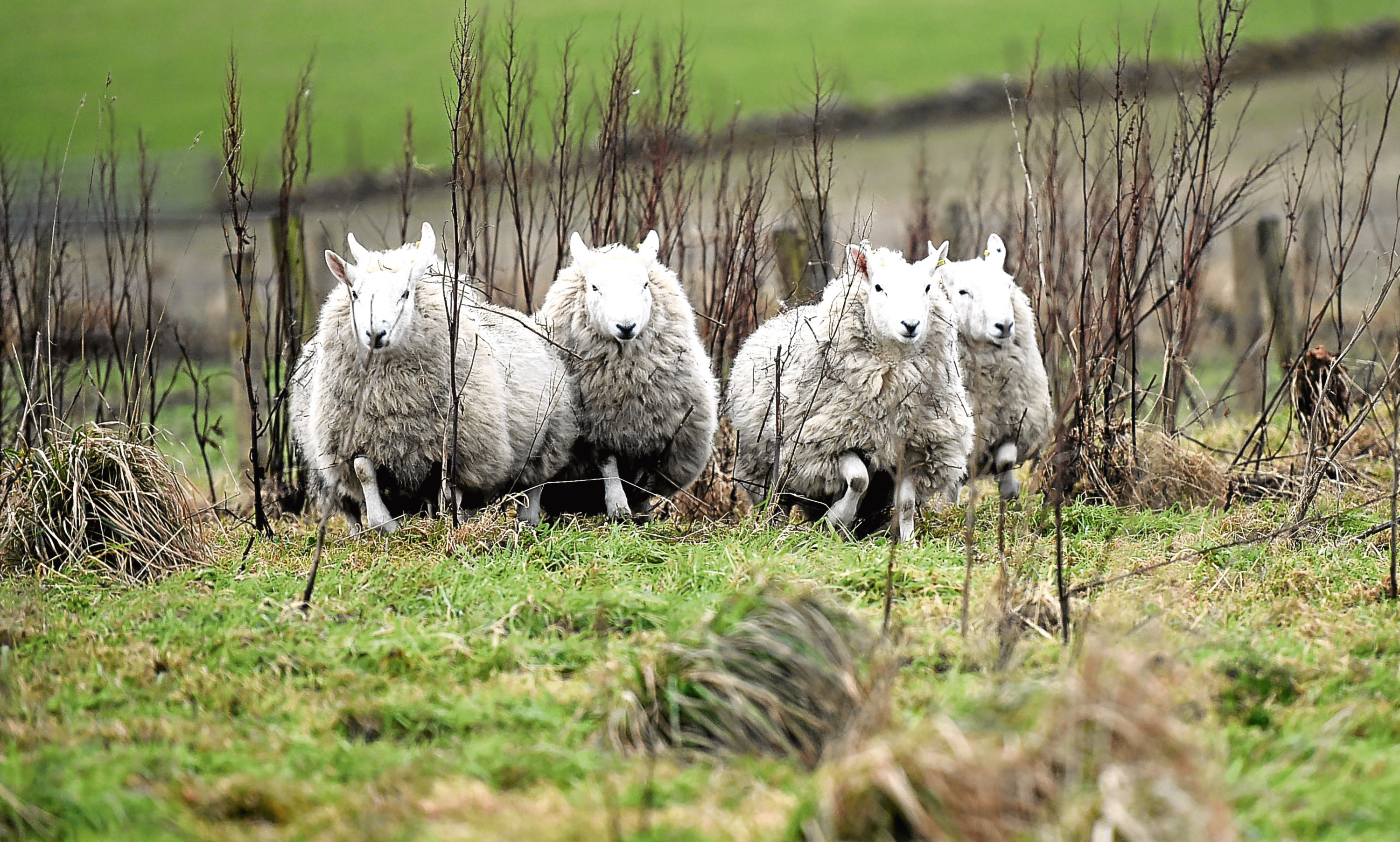 The New Arc Animal Sanctuary now have rescue sheep Vincent, Edgar Geoffrey, Adrian and Norris.