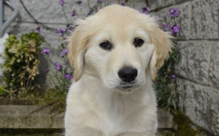 Dory, the Guide Dog puppy.
