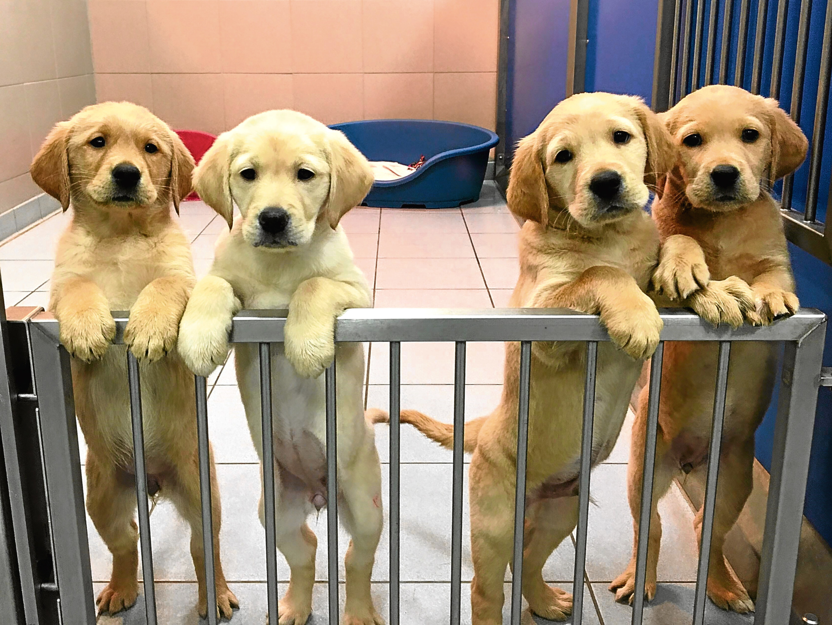 Prospective guide dogs Tally, Elsie, Laddie and Remy.