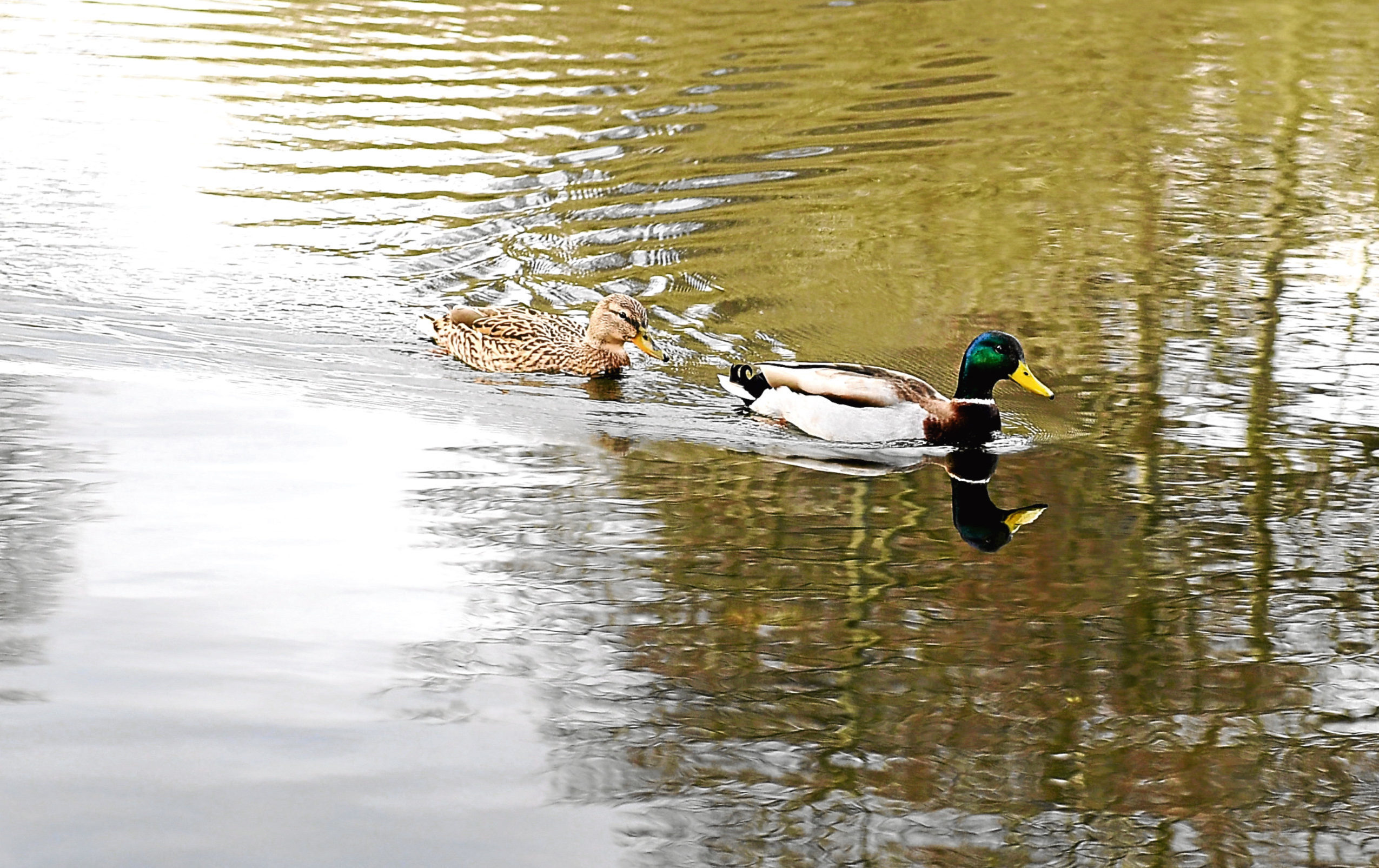 Officials want people to stop feeding  ducks bread.