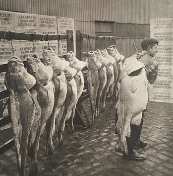 The striking image was captured at Albert Quay on the premises of fish processing and curing firm A&M Smith Ltd in 1908.