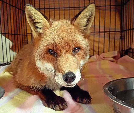 Marvel the fox