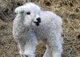 New lamb Daisy