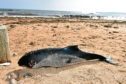A dead porpoise found washed up on Aberdeen beach.