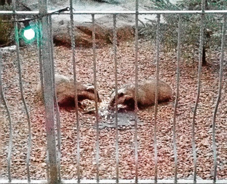 Badgers have been spotted by a resident near the planned flats development.
