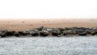 Seals on the beach near the Ythan Estuary.
