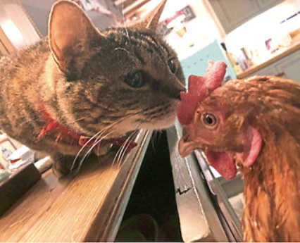 Hen love is the cat's whiskers