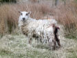 An injured sheep from the site was taken to an animal sanctuary near Aberlour.