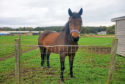 The Scottish SPCA is seeking a new home for Yorkie, a horse who is currently at the centre in Drumoak