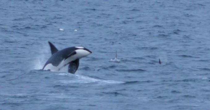 One of the Orcas.