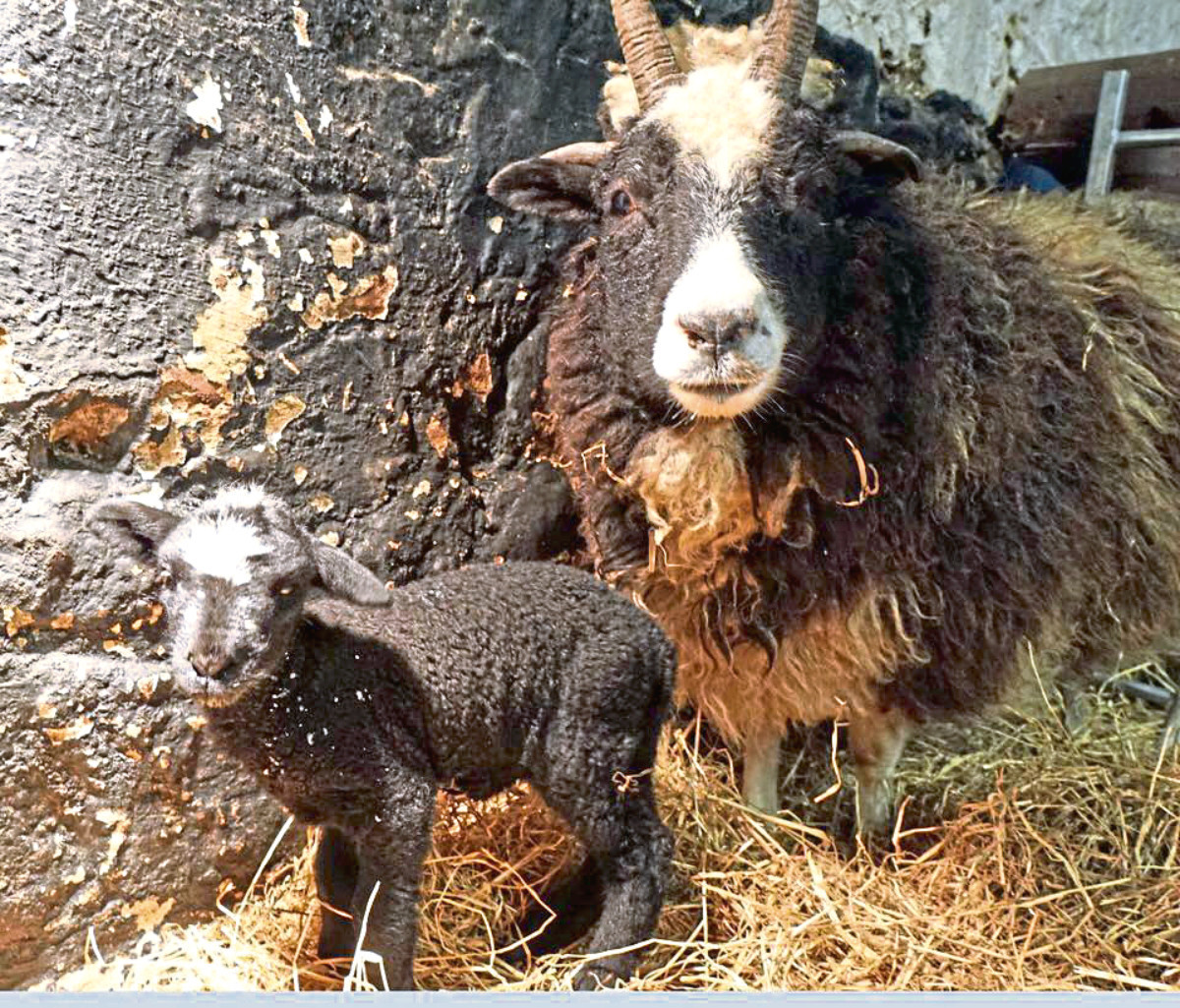 Two of Willows Animal Sanctuary's residents, a baby lamb and its mother.