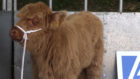 The Highland Cow calf needs a name - it's up to you to decide.