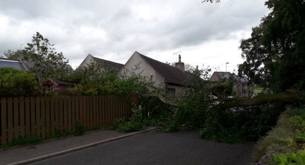 The fallen tree in Kirkton of Skene