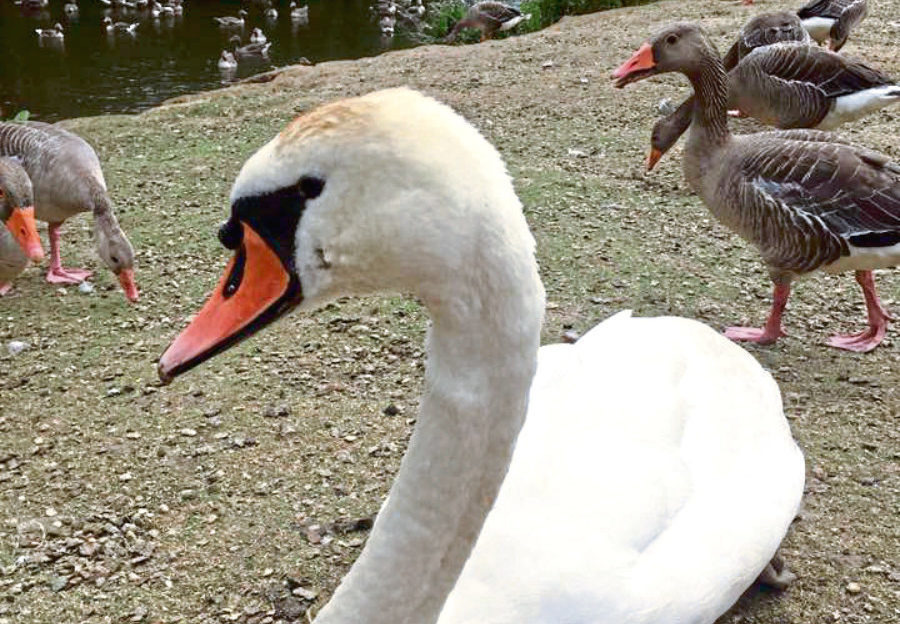 Ruby the swan at Haddo House