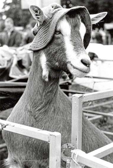 Topsy the goat's thoughtful owner Mrs Cynthia Kennedy provided the natty head gear